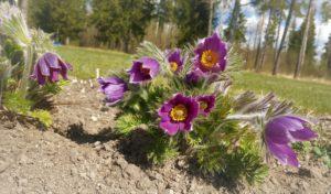 Karukella õied rõõmustavad pisut nukrat pilti aias.
